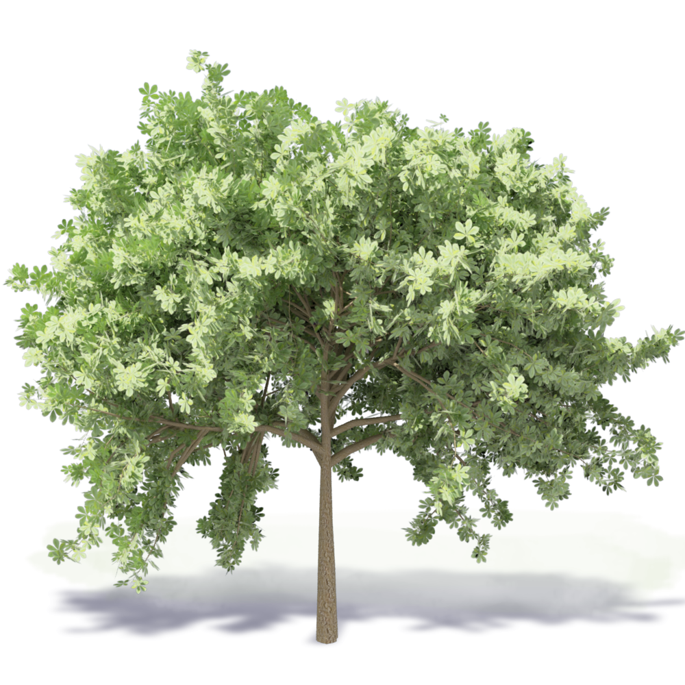 CAD and BIM object - Chestnut Tree 2 - Plants