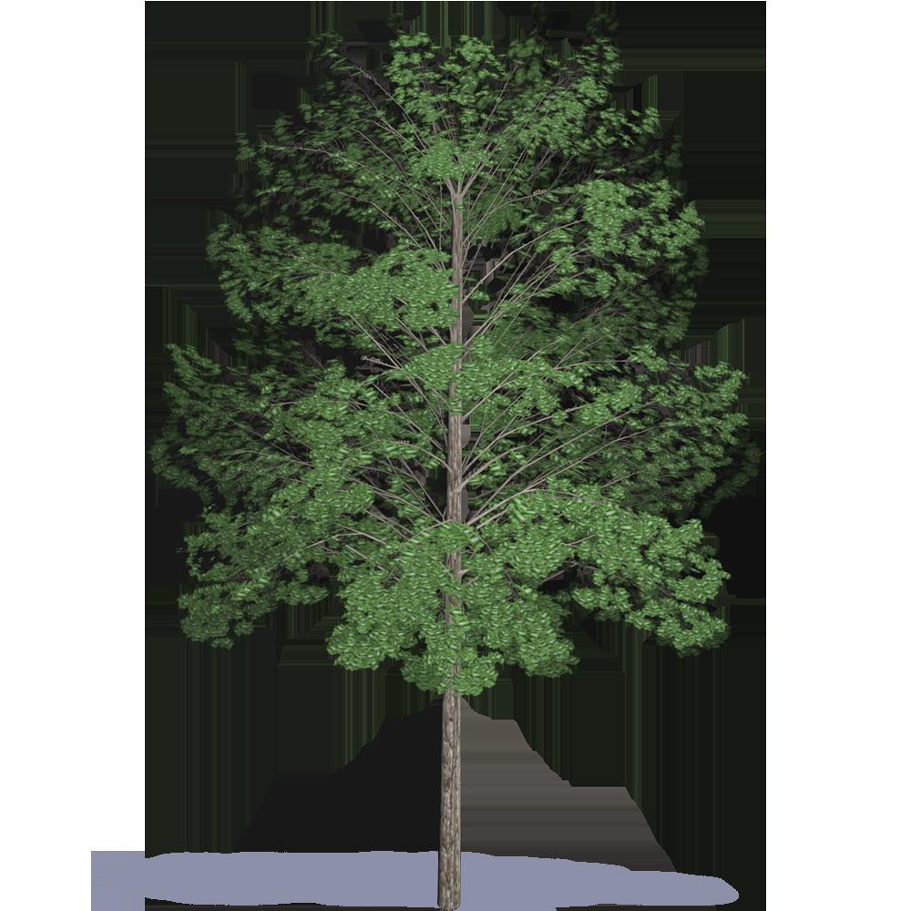 Acacia hardwood  3D View
