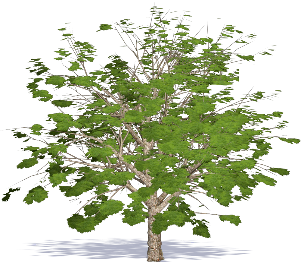 CAD and BIM object - Indian Horse Chestnut - Plants