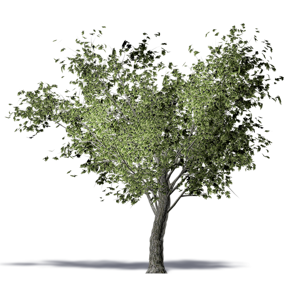 CAD and BIM object - Olive tree - Plants