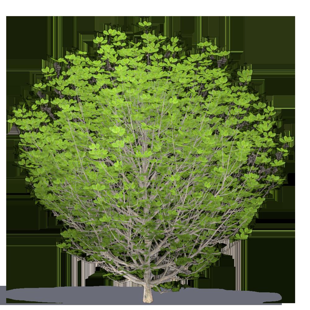 CAD and BIM object - Common Cherry Laurel, English Laurel - Plants