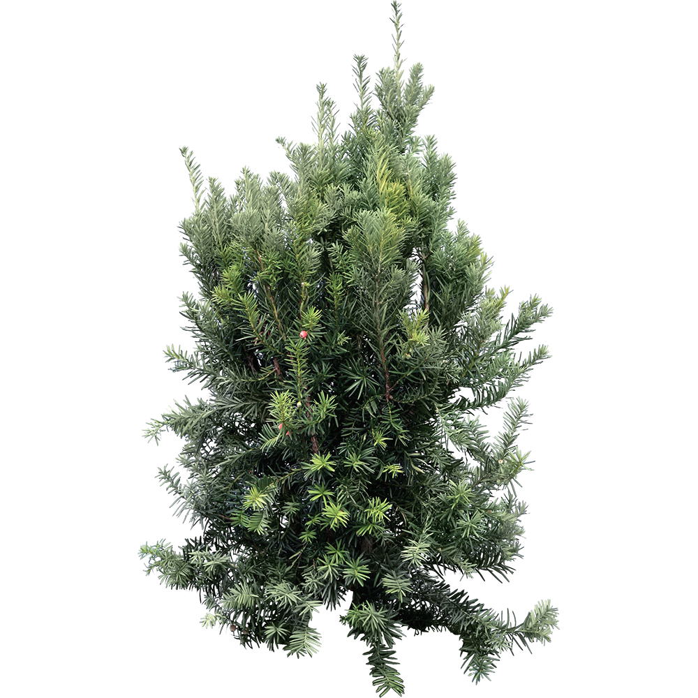 Image - Entourage - Fir Tree 14