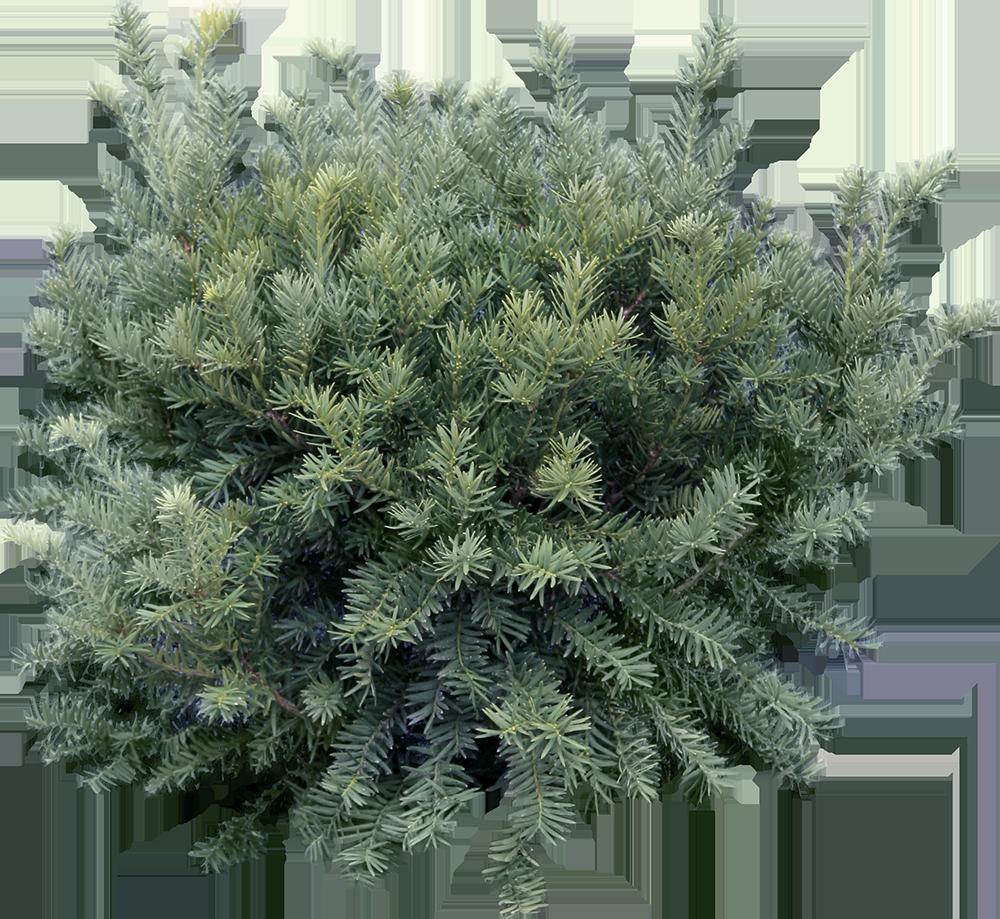 Image - Entourage - Fir Tree 16