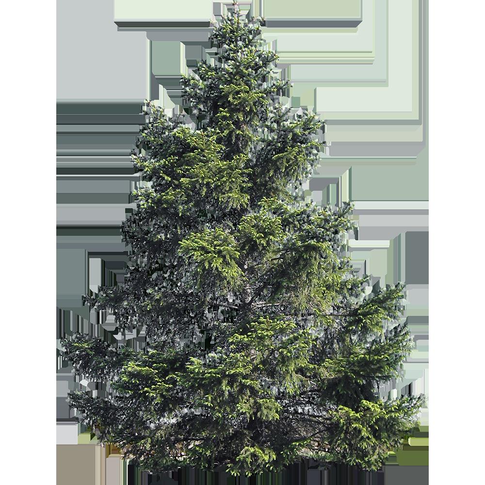 Image - Entourage - Fir Tree 17