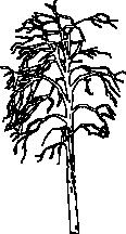 Tree 79