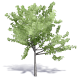 generic summer tree 6