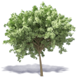 chestnut tree 3