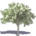 Elm Tree 1