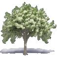 elm tree 3