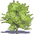 Hornbeam Maple