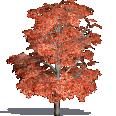 Red Maple, Swamp Maple