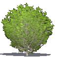 Common Cherry Laurel, English Laurel
