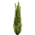 Cutout Cypress 1