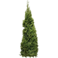 image - entourage - fir tree 6