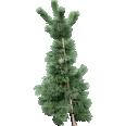 image - entourage - fir tree 8