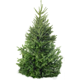image - entourage - fir tree 9