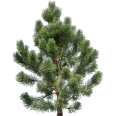 image - entourage - fir tree 11