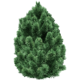 Image - Entourage - Fir Tree 13
