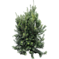 image - entourage - fir tree 14
