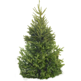 image - entourage - fir tree 15
