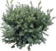 image - entourage - fir tree 16