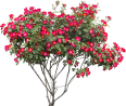 image - entourage - flower bougainvillea
