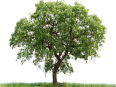 image - entourage - tree 39