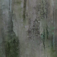 Tree Trunk Texture Long