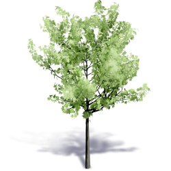 Generic Summer Tree 1