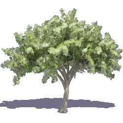 Elm Tree 2