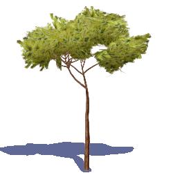 Stone Pine Tree 2