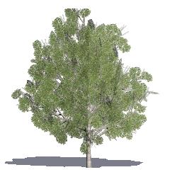 Cappadocian Maple