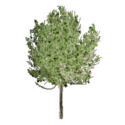 Lasiocarpa Poplar